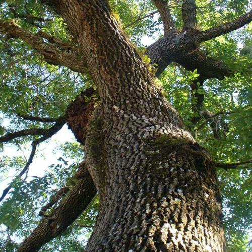 Дерево ясень из которого изготавливают паркетную доску