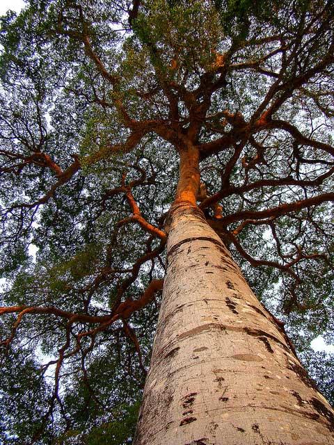 Дерево из которого изготавливают паркетную доску ятоба